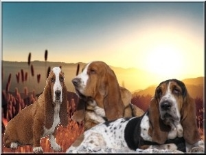 OURS BASSETTHOUND